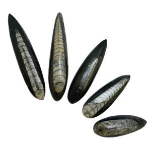 Orthoceros,fossil