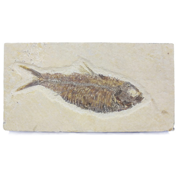 fossil,fish,tile