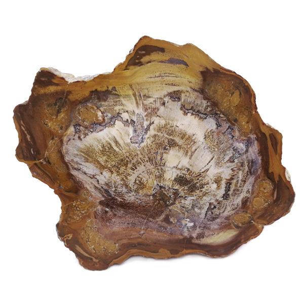 petrified,wood,fossil