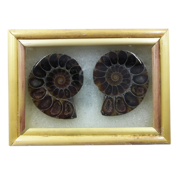 ammonite,fossil