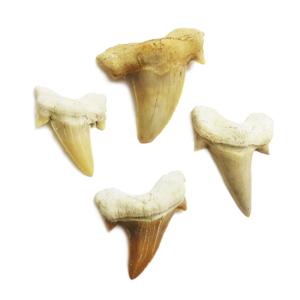 shark,tooth,pendant,megladon